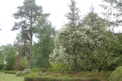 17 rosa sur pinus banksiana gb 14 juin 2015 110.jpg
