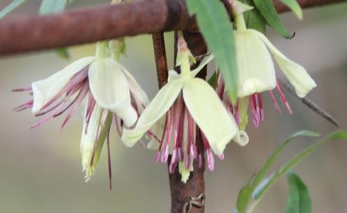 1 clematis napaulensis fleurs paris 31 janv 2015 097.jpg
