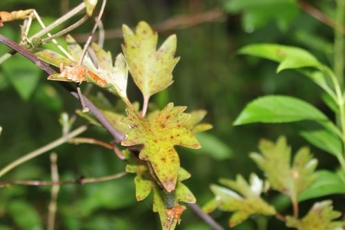 10 clematis avalanche  feuilles veneux 18 mai 2016 002.jpg