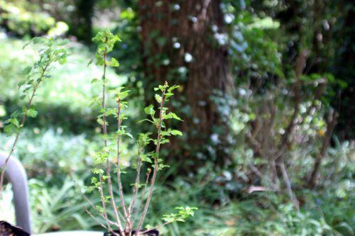 2 ribes alpinum mâle 17 avril 2014 033.jpg