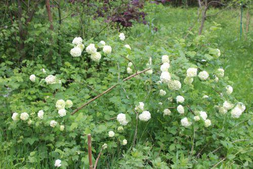 1 viburnum opulus roseum romi 3 mai 2014 033 (1).jpg