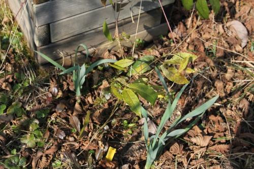 7 bignonia capreolata romi 16 mars 2015 019.jpg