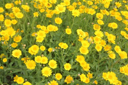 glebionis segetum 3 paris 23 juin 2012 429.jpg
