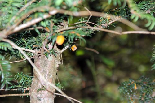 taxus fructo luteo marnay 21 sept 2013 145 (2).jpg