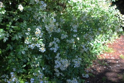 4 rosa mulliganii veneux 24 juin 2016 006.jpg