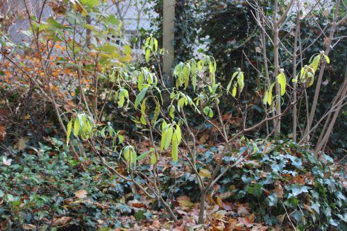 13 edgeworthia veneux 7 déc 2013 001.jpg