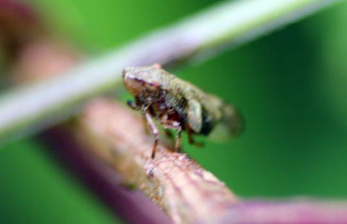 cicadelle romilly 16 juil 2012 211.jpg
