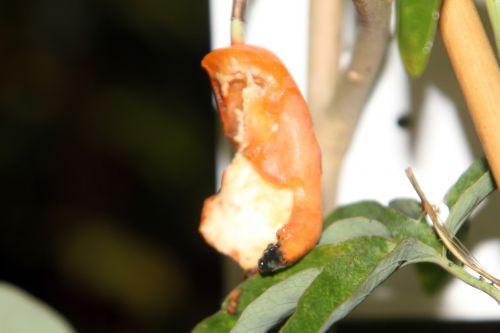 passiflora caerulea 2 veneux 11 nov 2012 011.jpg
