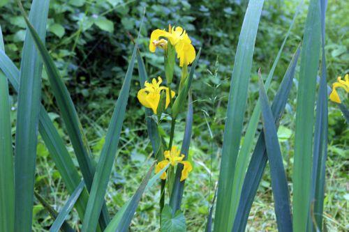 3 iris pseudacorus romi 23 mai 2014 044 (6).jpg