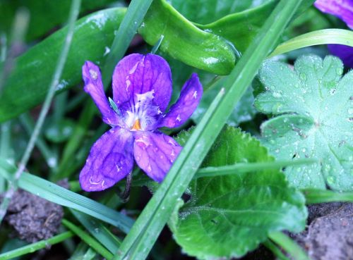violette près lorrez 27 mars 020.jpg