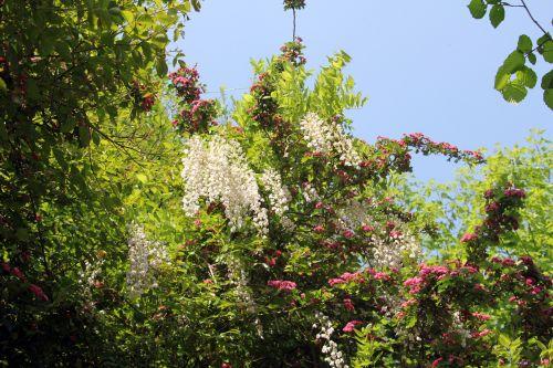 wisteria floribunda veneux 24 avril 2011 032.jpg