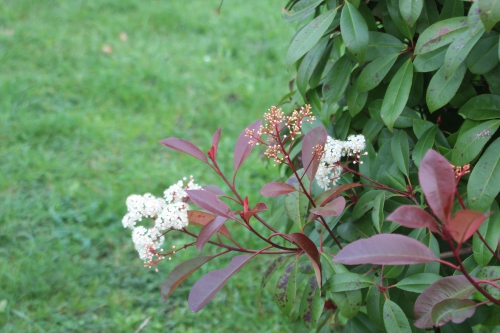 2 photinia ecuelles 16 nov 2015 004 (1).jpg