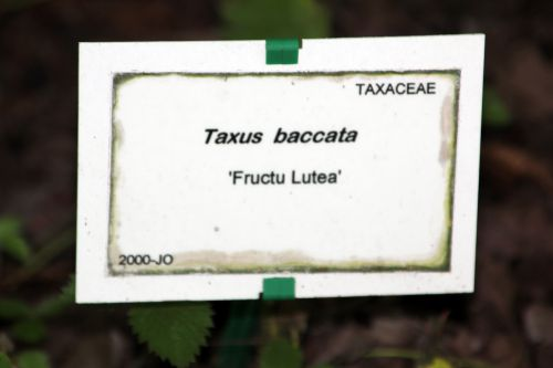 taxus fructo luteo marnay 21 sept 2013 145 (4).jpg
