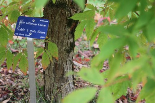 9 acer triflorum barres 13 oct 2012 265.jpg