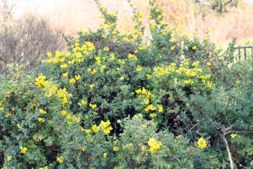 1 coronilla valentina ssp glauca bl 28nov 031.jpg