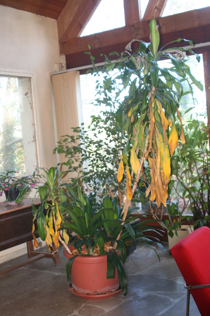 dracaena massangeana fragrans sureaux. Black Bedroom Furniture Sets. Home Design Ideas