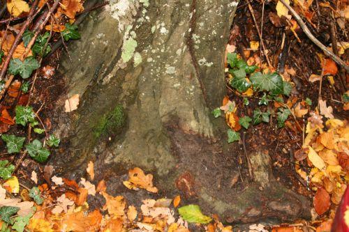 carpinus veneux 7 nov 2010 005.jpg