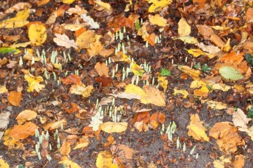 13 galanthus elwesii veneux 21 nov 2016 018.jpg