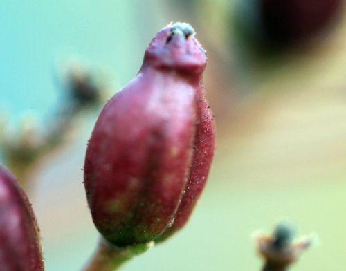 d viburnum tinus 26 fev 2012 004.jpg