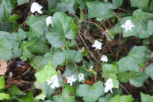 7 cyclamen hederifolium veneux 27 août 2017 005.jpg