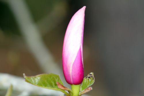 magnolia gresham gb 9 avril 2012 111.jpg
