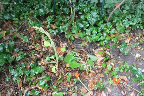 2 actinidia mâle veneux 28 juil 2015 006 (1).jpg