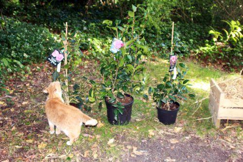 8 camellia 16 sept 2013 008.jpg