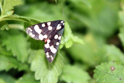 callimorpha dominula romi 3 juil 2012 039 (4).jpg