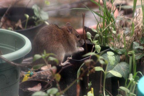 rat 27 avril 2012 005.jpg