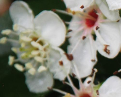 crataegus pedicellata romi fleur 29 mai 2015 041 (4).jpg