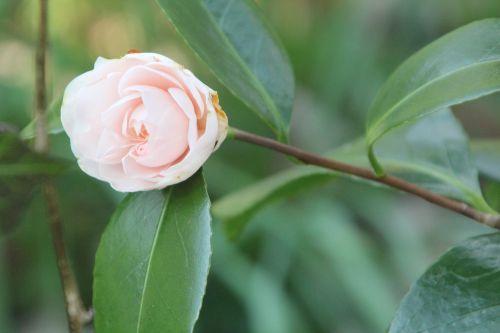 camellia veneux 7 avril 2013 030.jpg