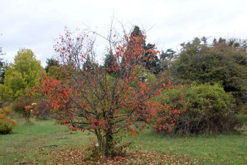 2 pseudocydonia barres 13 oct 2012 154.jpg