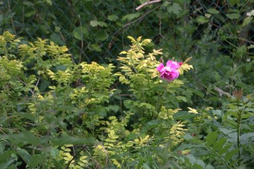 7 rosa rugosa romi 29 mai 2015 073 (1).jpg