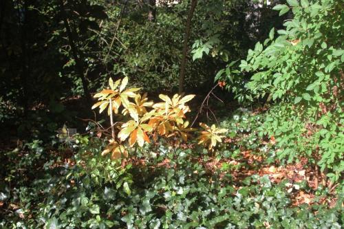 14 rhodo luteum veneux 15 oct 2016 008 (1).jpg