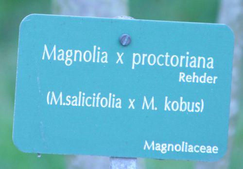 magnolia proctoriana paris 23 mars 018.jpg