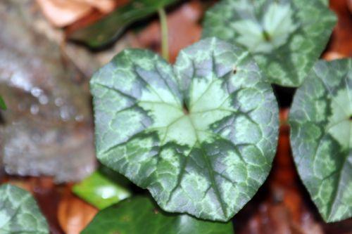 15 cyclamen hederifolium veneux 4 janv 2014 001 (5).jpg