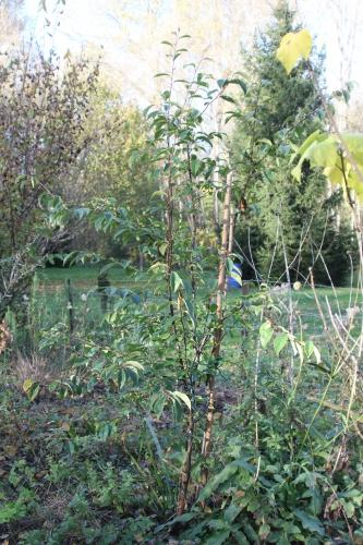 1 pseudocydonia romi 11 nov 2014 034 (1).jpg