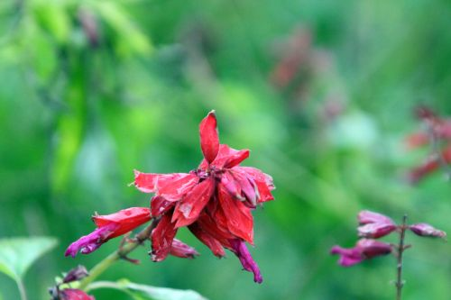 salvia splendens 1 paris 31 déc 2011 014.jpg