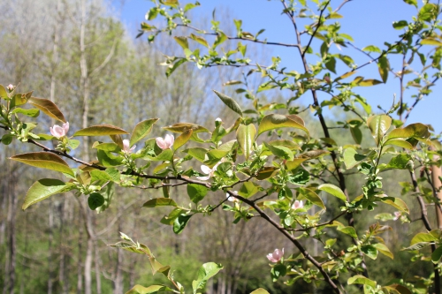 5,pseudocydonia romi 23 avril 2015 073 (1).jpg