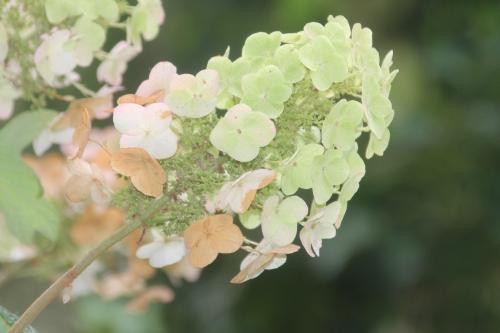 5 hydrangea quercifolia veneux 6 aout 2017 001 (2).jpg