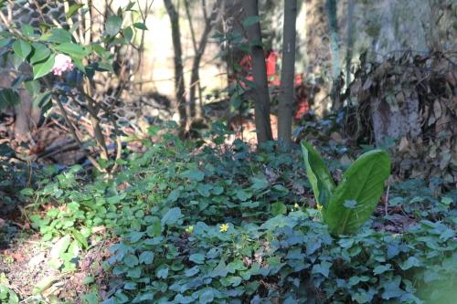 16 lysichiton veneux 14 avril 2015 025.jpg