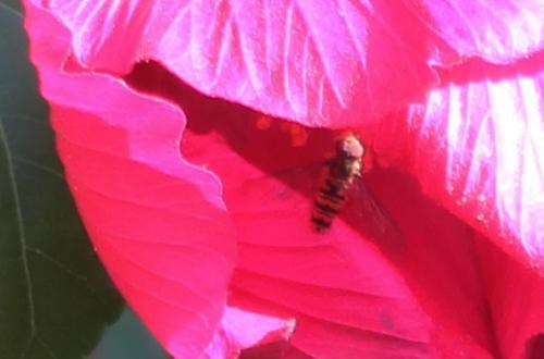 10 hibiscus mutabilis syrphe veneux 8 sept 2016 004 (1).jpg