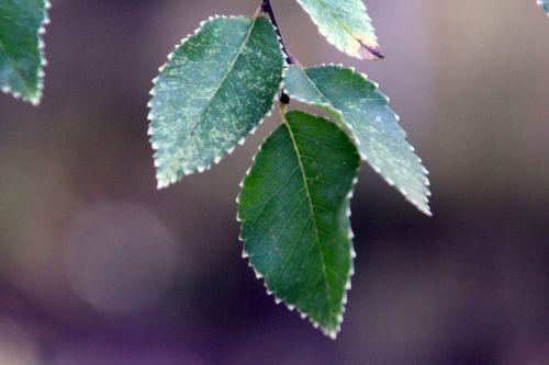 4 ulmus parvifolia gb 21 oct 2012 191 (3).jpg