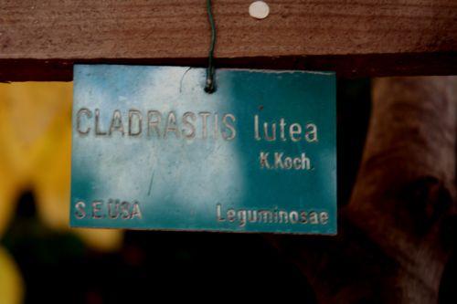 cladrastis paris 30 oct 2010 167.jpg