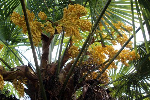 port femelle trachycarpus marnay 1 juin 2013 006.jpg