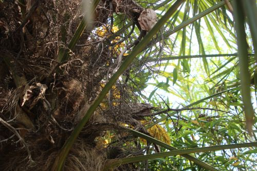 trachycarpus c marnay 1 juin 2013 012.jpg