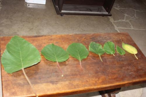 1 actinidia feuilles veneux 4 oct 2015 001 (1).jpg