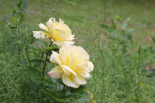 29 polyantha jaune romi 29 mai 2015 038.jpg
