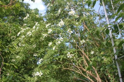 16 hydrangea bretsch veneux 30 mai 2017 001 (2).jpg
