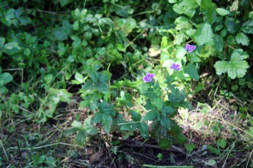 geranium nodosum 2 romi 14 juillet 2013 089.jpg